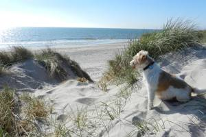 Jack Russell am Strand in Söndervig